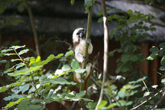 Cotton-top Tamarin Monkey Stock Photos
