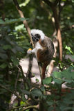 Cotton-top Tamarin Monkey Royalty Free Stock Photos
