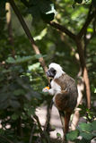 Cotton-top Tamarin Monkey Stock Images