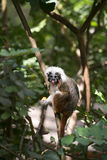 Cotton-top Tamarin Monkey Royalty Free Stock Photography