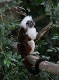 Cotton Top Tamarin Monkey (Saguinus Oedipus). Cottontop Tamarin, sitting and waiting stock photography