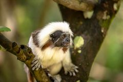 Cotton Top Tamarin Monkey, Saguinus oedipus, sitting on a tree branch. Facing camera, forest background. Singapore zoo stock photo
