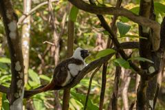 Cotton Top Tamarin Monkey - Saguinus oedipus -sitting on a tree branch. A Cotton Top Tamarin Monkey sitting on a branch looking up, side view, forest background stock photography