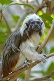 Cotton-top tamarin monkey Stock Image