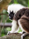 Cotton Top Tamarin Monkey with White Hair. A cotton top tamarin on a branch Royalty Free Stock Photography