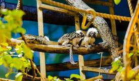 Cotton-top tamarin Stock Photos