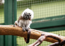 Cotton-top tamarin in open-air Stock Photo