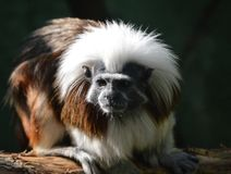 Cotton-top Tamarin Stock Images