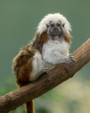 Cotton-top tamarin. (Saguinus oedipus) on bare tree branch against green background Royalty Free Stock Images