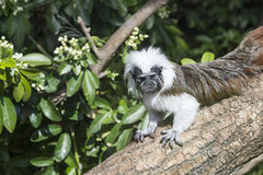Cotton Top Tamarin Saguinus Oedipus lain on tree branch in sunli Stock Photography