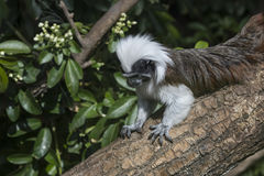 Cotton Top Tamarin Saguinus Oedipus lain on tree branch in sunli Royalty Free Stock Photography