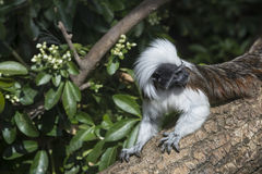 Cotton Top Tamarin Saguinus Oedipus lain on tree branch in sunli Royalty Free Stock Photos