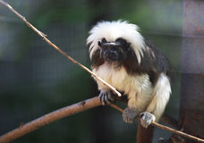 Cotton-top tamarin (Saguinus oedipus). Royalty Free Stock Image