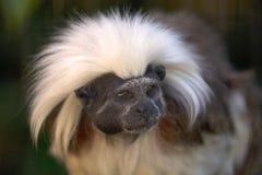 Cotton-top tamarin Saguinus oedipus Royalty Free Stock Photos