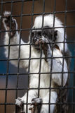 Cotton - top tamarin - saguinus oedipus Stock Images