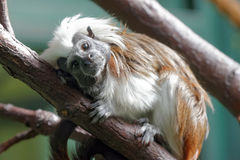 Cotton-top tamarin. (Saguinus oedipus) is a small New World monkey weighing less than 0.5 kg Royalty Free Stock Images