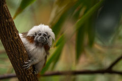 Cotton-top tamarin. The cotton-top tamarin (Saguinus oedipus) is a small New World monkey weighing less than 1 lb. One of the smallest primates, the cotton-top Royalty Free Stock Photos