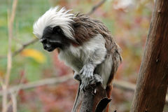 Cotton-top tamarin, Sanguinus oedipus Royalty Free Stock Images