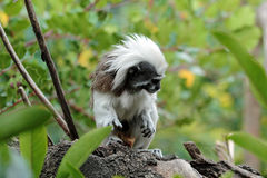 Cotton-top tamarin, Sanguinus oedipus Stock Images