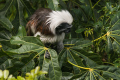 Cotton-top tamarin searching for food Stock Photo