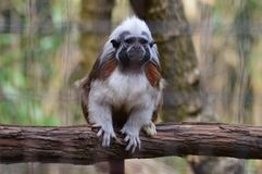 Cotton Top Tamarin. Small monkey sitting on a branch Royalty Free Stock Photo