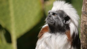 Cotton top tamarin watching Stock Photos