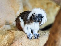 Cotton-top Tamarin at zoo. In Vienna, Austria Royalty Free Stock Photo