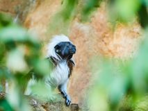 Cotton-top Tamarin at zoo. In Vienna, Austria Royalty Free Stock Image