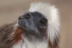 Cotton Top Tamarins Royalty Free Stock Photography