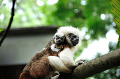 Cotton-top tamarins (Saguinus Oedipus) in Singapor Stock Photography