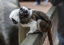 Cotton Topped Tamarin with baby Royalty Free Stock Photo