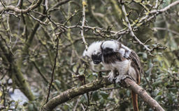 Cotton Topped Tamarin with baby Royalty Free Stock Photography