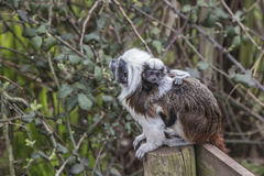 Cotton Topped Tamarin with baby Royalty Free Stock Images