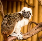 Cotton Topped Tamarin Royalty Free Stock Images