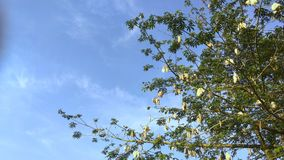 Cotton Tree with Clear Sky. Mature Cotton Tree with Blue Sky Background. Wild tree ready for harvest Royalty Free Stock Images