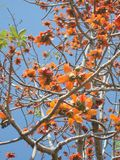 Cotton  tree flowers Stock Image