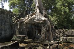 Cotton Tree Roots Covering A Structure Stock Photo