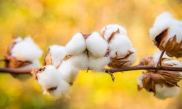 Cotton twig outdoors, sunny day royalty free stock images