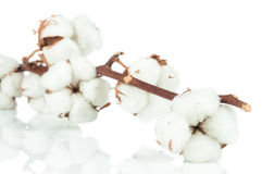 Cotton twig Royalty Free Stock Images