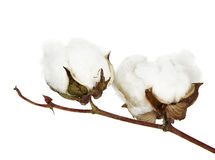 Cotton. Two cotton bolls on twig isolated Royalty Free Stock Image