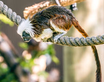Cotton-up tamarin Royalty Free Stock Images