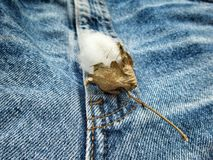 Cotton on vintage jeans Royalty Free Stock Image