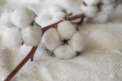 Cotton with warm sweater. Trendy autumn background with dried cotton. Delicate white cotton flowers on a wooden board royalty free stock photo