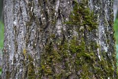 Cotton wood tree with moss growing on it. Detail photo of moss growing on a cotton wood tree found in wet climates in Alaska royalty free stock image