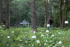 Cottongrass, Eriophorum vaginatum, in foreground. Out of focus middle aged adult man with backpack hiking toward wooden stock photos