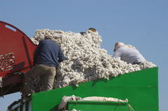 Cotton and workers Stock Photos