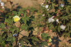 Cotton yellow flower Stock Photography