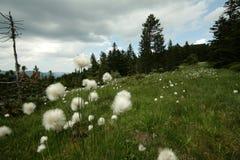 Cottongrass Stock Photo
