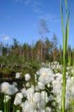 Cottongrass. Stock Photo