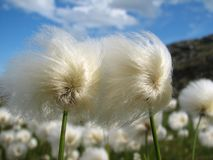 Cottongrass Photo libre de droits